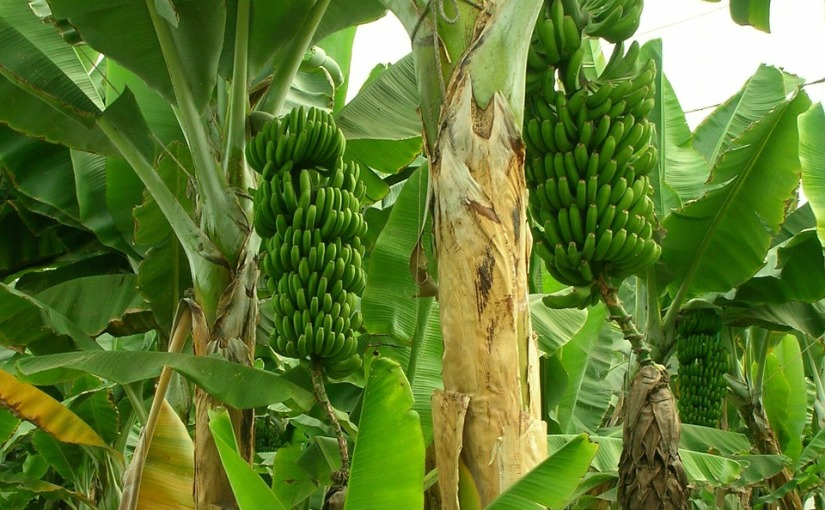 Bragging benefits of banana stem